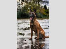Malinois   Belgian malinois, Belgian malinois dog