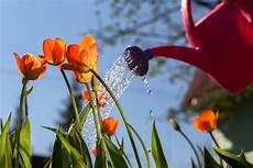 tulpen pflege nach der blüte tulpen pflegen 187 so f 252 hlen sie sich rundum wohl