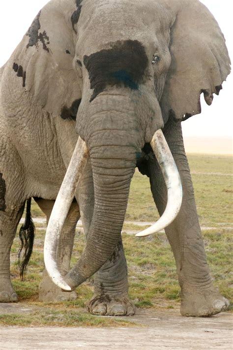 Elephant Pussy