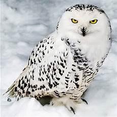Ausmalbilder Schneeeule 31 Schnee Eule Bilder Besten Bilder Ausmalbilder