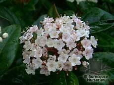 viburnum tinus winterhart viburnum tinus from burncoose nurseries