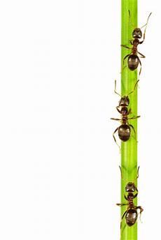 Ameisen An Pflanze Bio Garten Produkte
