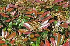 Photinia Fraseri Robin - photinia fraseri robin den berk nurseries
