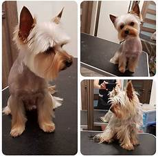 yorkie haircuts pictures summer cuts 24 best yorkie hairstyles for males yorkshire terrier haircuts the paws