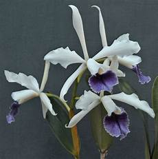 orchideen shop pflanzen f 252 r nassen boden