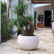 34 Best Ponytail Palms Images Pony Palm Outdoor