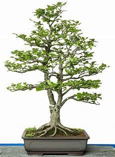 fagus sylvatica bonsai tree bonsai baum bonsai und
