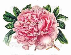 peony clipart peony instant digital downloads collage sheet pink
