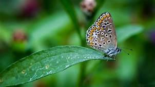 Nature Wings Dew Gardenbutterfly Animal Black White