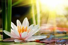 fiore della rinascita il fiore c 232 in te lotus flower pcos