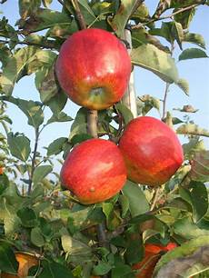 wann sind äpfel reif wann sind apfel reif great die pfel sind fast reif with