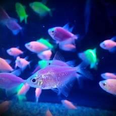 neon fish from walmart plus black light fishes neon blacklight pet fish freshwater