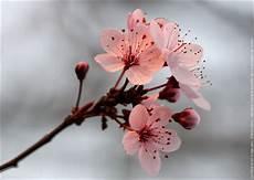 fleur de cerisier dessin fleur cerisier du japon fleurs cerisiers du japon img 0178