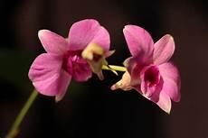 30 Gambar Bunga Anggrek Pink Koleksi Bunga Hd