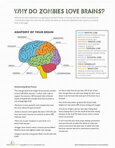 parts of the brain worksheet education com