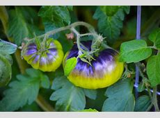 Heirloom Tomato Plant: Care and Growing Guide