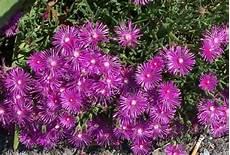 piante grasse fiori fucsia mesembriantemo pianta e cure idee green