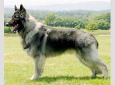 Shiloh Shepherd: Her kan du lese mer om hunderasen som