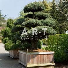 olivier nuage pas cher pinus parviflora pent glauca le pin du japon pour jardin
