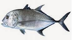 Dunia Mancing Cara Mancing Ikan Kuwe Dan Umpannya