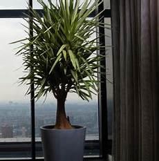 Yucca Palme Palmlilie Pflege