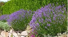 Lavande Plante D Ext 233 Rieur Gamm Vert
