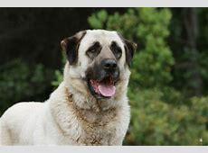 Anatolischer Hirtenhund [2019] Charakter   Wesen   Hunde