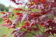 Japanischer Ahorn Schneiden Der Riskante Pflanzenschnitt