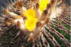 wie oft kaktus gießen 5 pflegeleichte zimmerpflanzen f 252 r anf 228 nger at