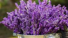lavendel im topf überwintern lavendel pflanzen vermehren 252 berwintern trocknen so