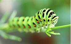 Insect Caterpillar Wallpaper caterpillar wallpaper and background image 1280x800 id