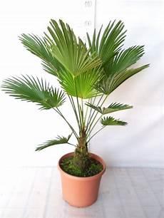 bol trachycarpus wagnerianus winterharde palm
