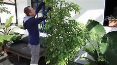 Comment Tailler Les Ficus