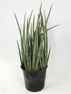 sansevieria cylindrica pflege sansevieria cylindrica spear plant succulent