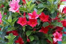 kübelpflanzen winterhart blühend dipladenia sundaville pflege 220 berwintern