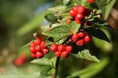 pflanze mit roten beeren aronia rote beeren unreife fr 252 chte in bl 228 tter