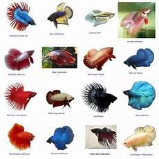 Macam Macam Jenis Ikan Cupang Jual Peralatan
