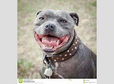 Testa Di Staffordshire Bull Terrier Con La Bocca Aperta