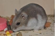 wie wird mäuse los hamster ruso animales mascotas mercafauna