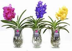 Vanda Klaudia Mix Im Glas Florastore