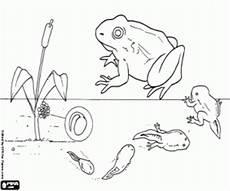 fases de la vida de la rana para colorear pintar e imprimir