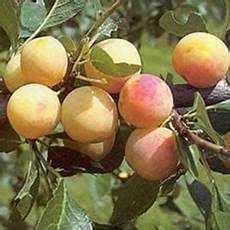 Mirabelle De Nancy Fruit Trees For Sale