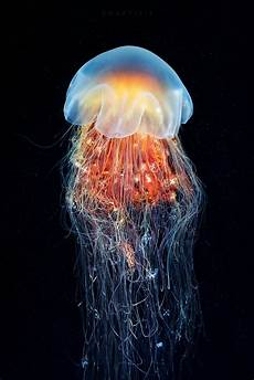 cyanea capillata from the sea of okhotsk animaux beaux