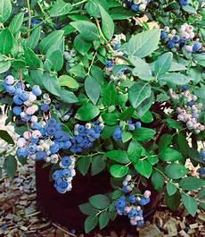heidelbeeren pflanzen abstand herbst heidelbeere 174 1a qualit 228 t baldur garten