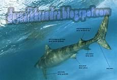 10 Gambar Ikan Hiu Dan Ikan Pari Paling Dicari