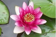 fior di lotto gautama buddha e osho la meditazione e il fiore di loto