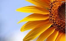 significato girasole nel linguaggio dei fiori girasole piante annuali girasole caratteristiche