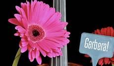 significato dei fiori gerbera significato dei fiori gerbere quale colore scegliere per