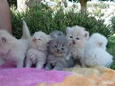 gatti persiani regalo gattini persiani per l adozione subito