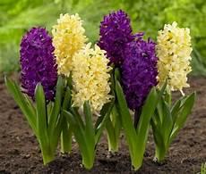 giacinto fiore giacinti bulbi bulbi i giacinti